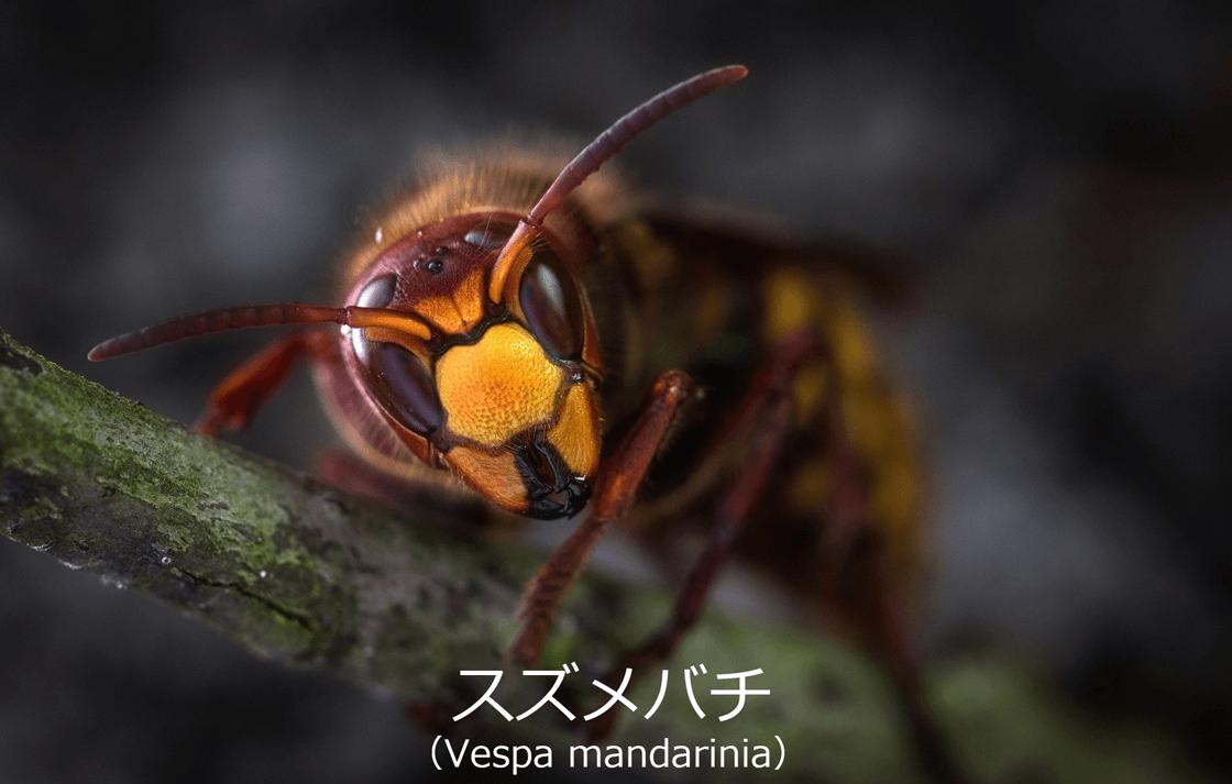 【透析ブログ】スズメバチ-Vesta-mandarinia